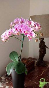Phalaenopsis Luzern