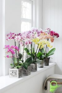 Phalaenopsis en la ventana