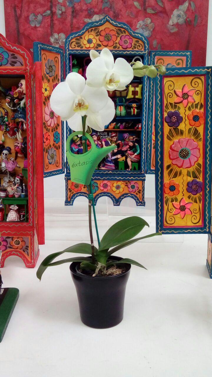Phalaenopsis Pequeñas en Maceta 9