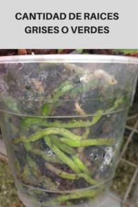 cantidad-de-raices-grises-o-verdes